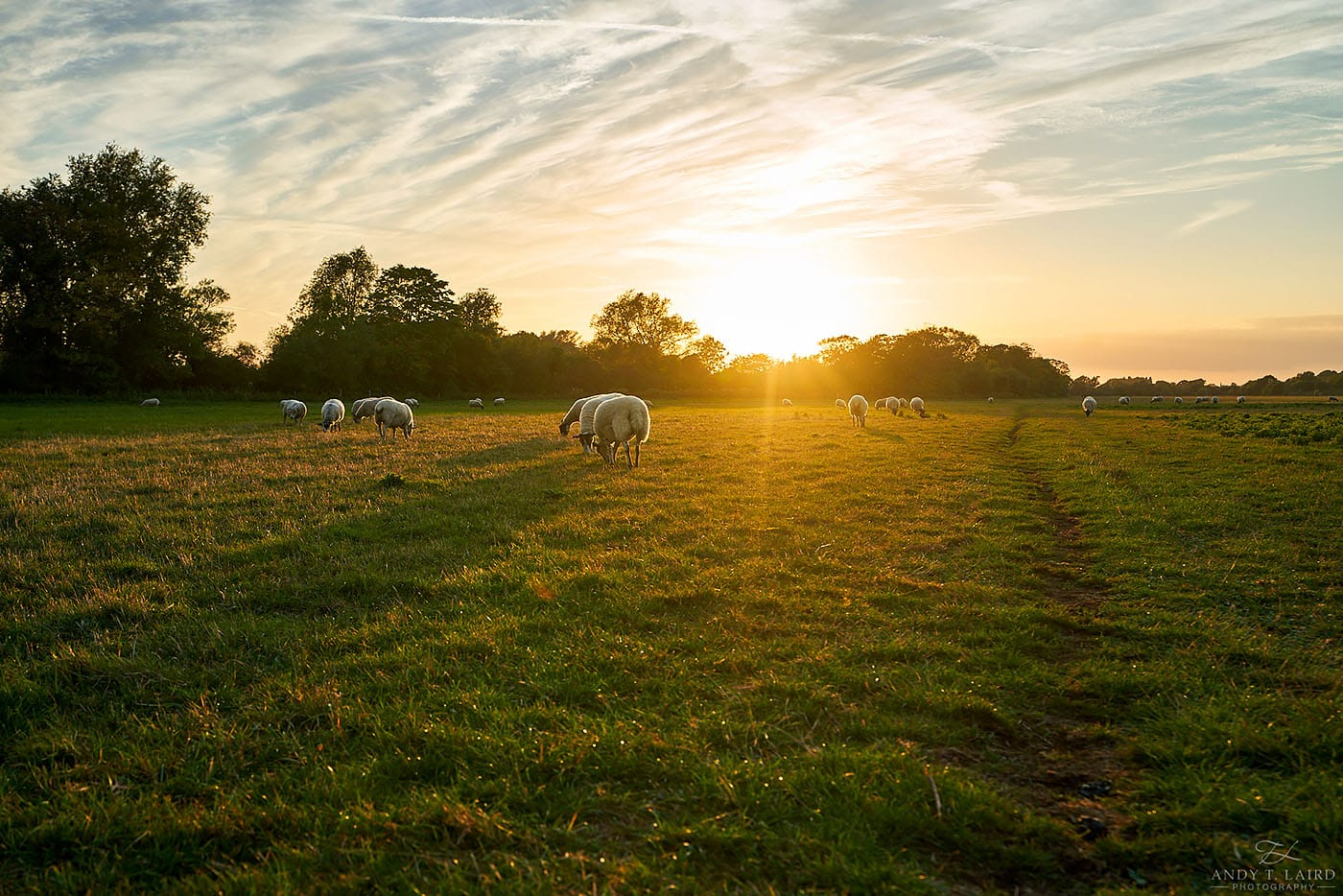 Cambridge Sheep Farm during Sunset